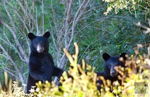 Eastpoint Black Bears by David Moynahan