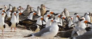 These birds were photographed by David Moynahan, but not at Gulfport. Look at the beautiful black skimmers!