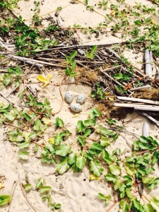 American oystercatcher nest