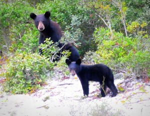 Mother and cub in coastal scrub. Photo by Jon Johnson