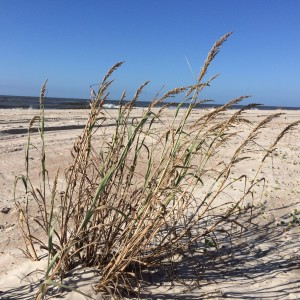 Bitter Panicum grass, an important dune builder