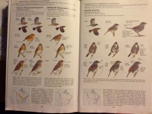 What Sibley says about marsh sparrows! A lot!