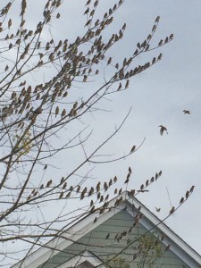 Cedar waxwings in Southwood