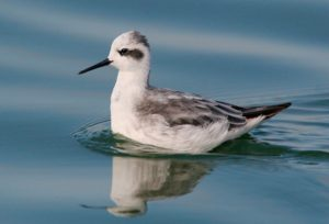 Red-necked phalarope in winter plumage, courtesy of tgreybirds.com